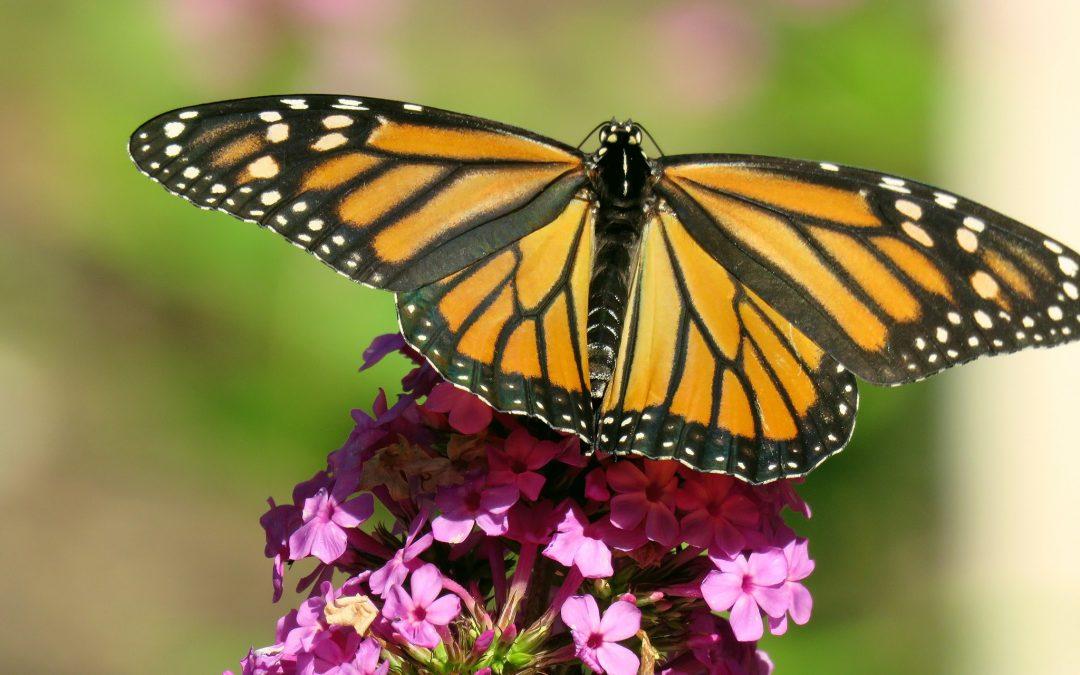 the Garden's Upcoming Butterfly Walks: FULL